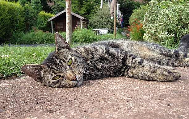 Tomcat lazing around in domestic garden stock photo
