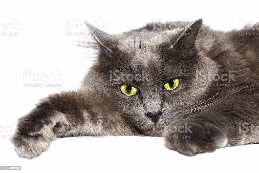 Tomcat royalty-free stock photo