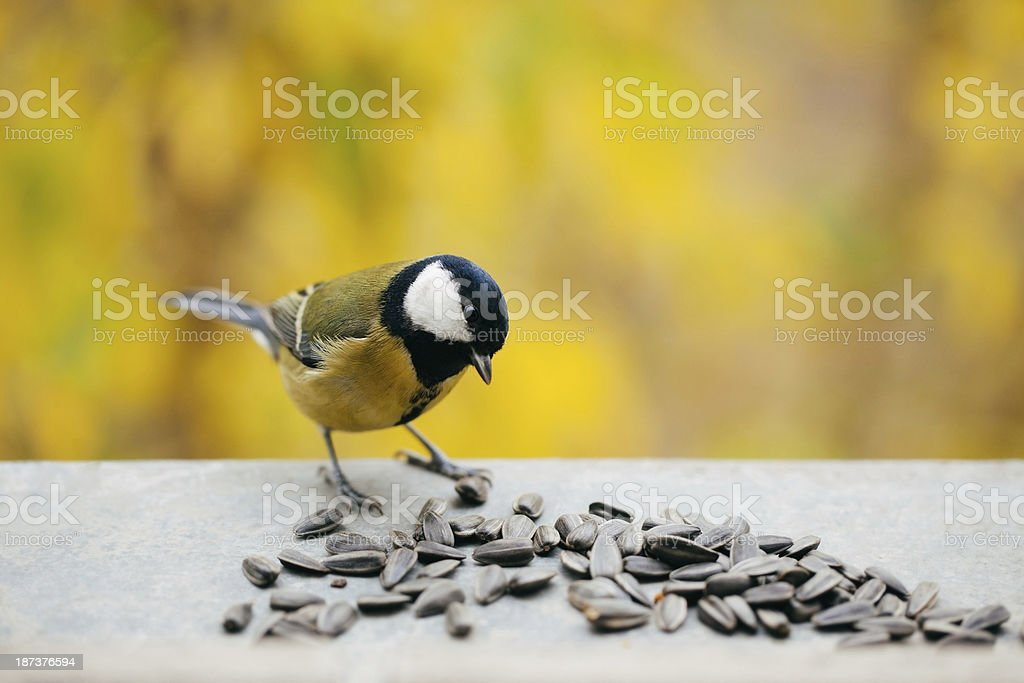 Tomtit eating sunflower seeds with copy space - Royalty-free Alaska - US State Stock Photo