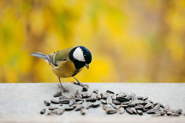 Tomtit eating sunflower seeds with copy space stock photo