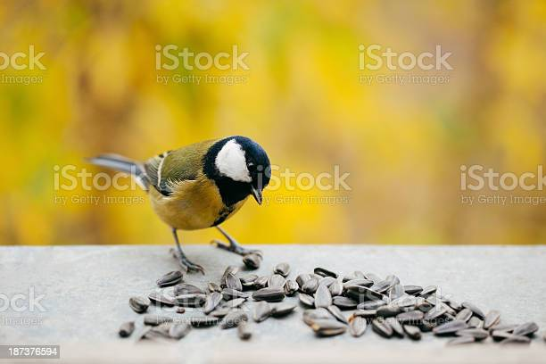 Tomtit Eating Sunflower Seeds With Copy Space Stock Photo - Download Image Now