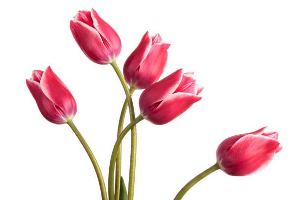 Getönten blaue Tulpe Blumen isoliert auf weißem Hintergrund – Foto