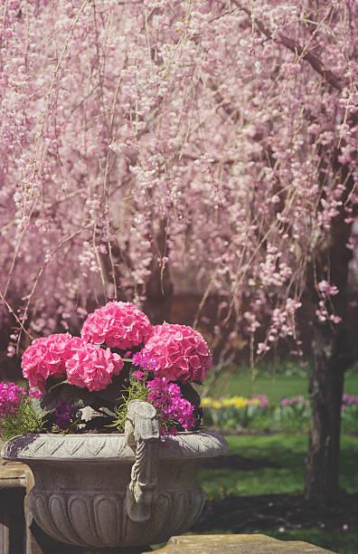 Imagen virada de relleno hydrangeas y cerezos en flor - foto de stock
