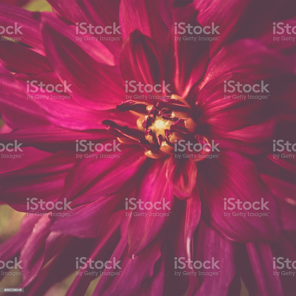 Toned red colour dahlia flower close-up in summer stock photo