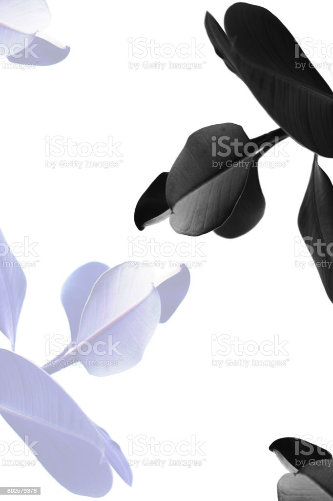 toned view of ficus plants stock photo
