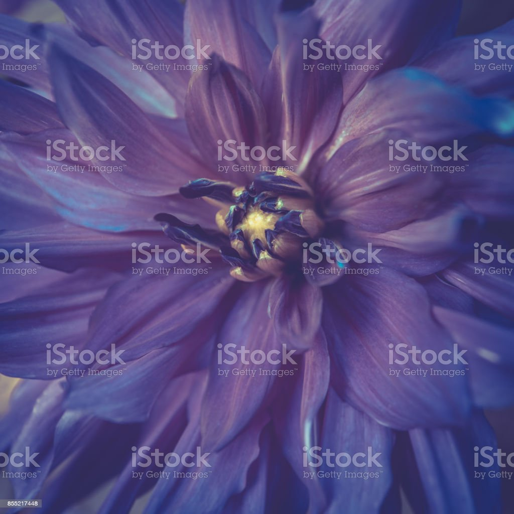 Toned violet colour dahlia flower close-up in summer stock photo