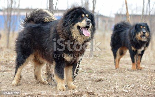 Tongue of black Dog (Tibetan Mastiff )standing on the land.