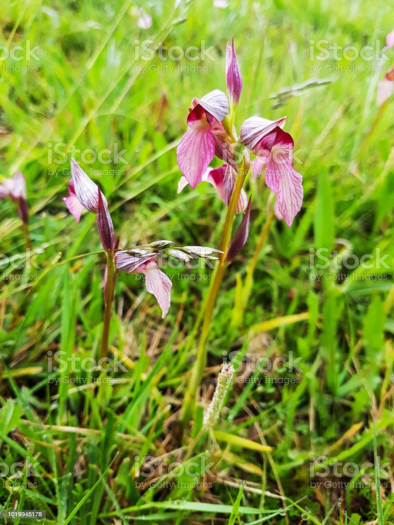 Orquídea de lengüeta - foto de stock