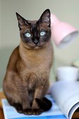 Tonkinese cat with unique fascinating aquamarine eyes