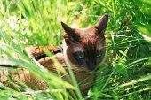 Rare breed cat - Tonkinese cat with fascinating aquamarine eyes