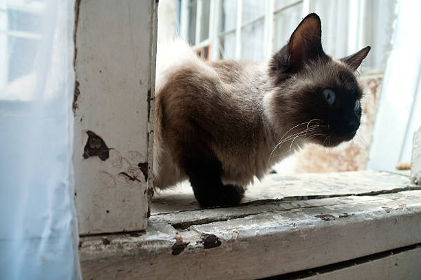 tonquinês gato - going inside eye imagens e fotografias de stock