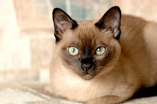 Tonkinese cat picture id92049326?b=1&k=6&m=92049326&s=612x612&w=0&h=swnzctkszgrg4aamhnoibfuv6dhvgyop3ldygmppkls=