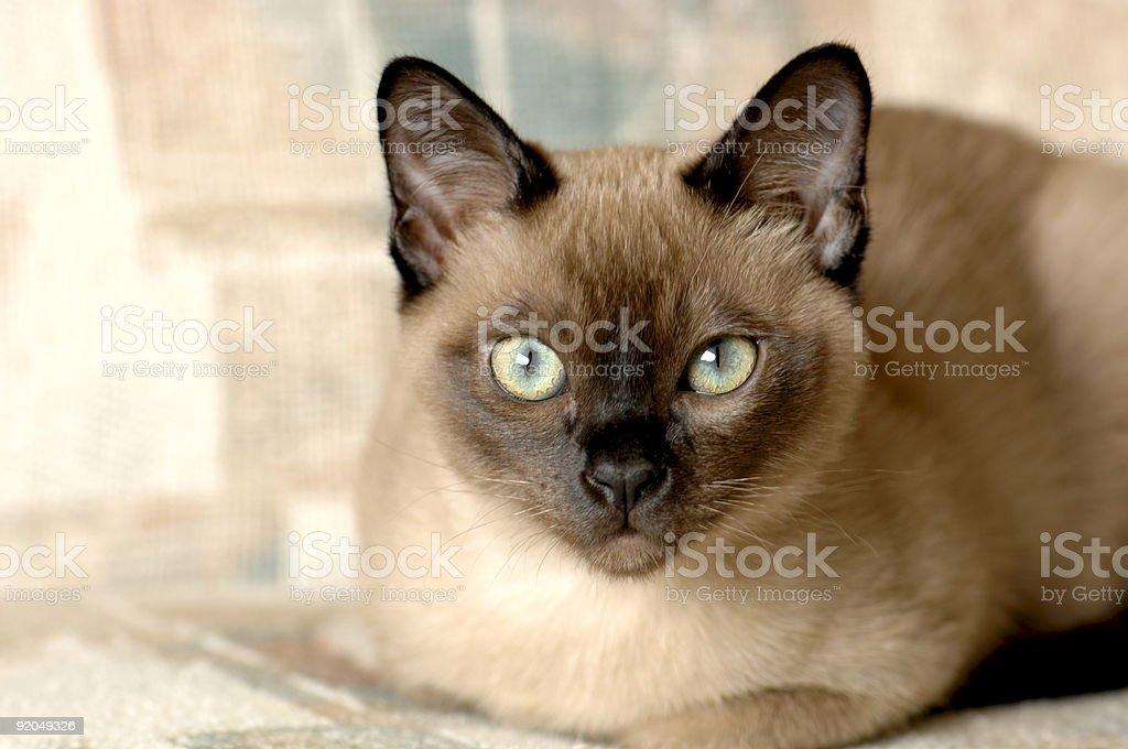 Tonkinese cat stock photo