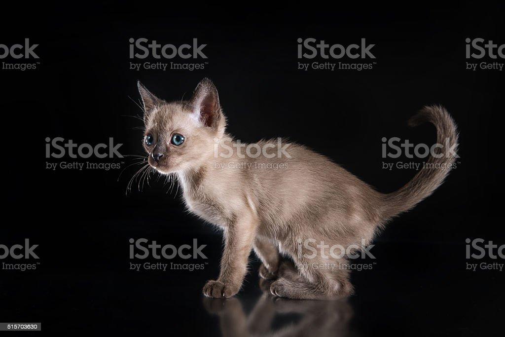 Tonkinese kittens stock photo