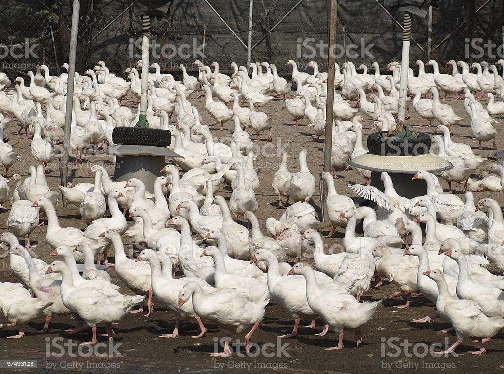 Tons of Ducks royalty-free stock photo