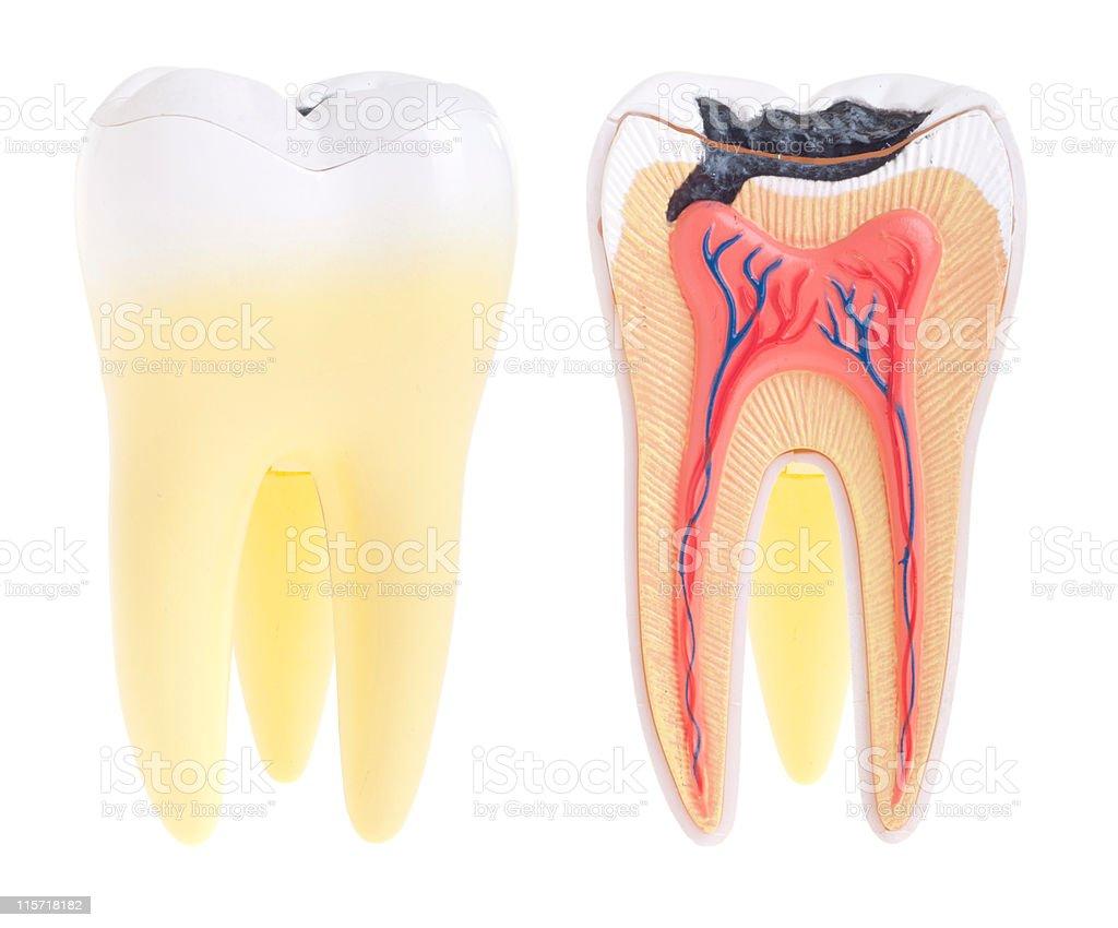 Fotografía de Anatomía Dental y más banco de imágenes de Anatomía ...