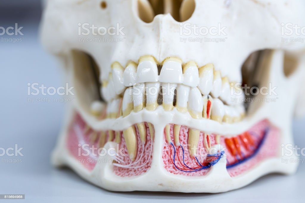 Tooth model for education in laboratory. stock photo