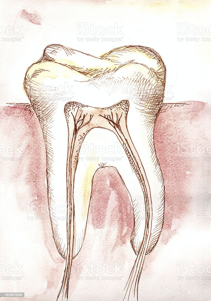 Tooth morphology royalty-free stock photo