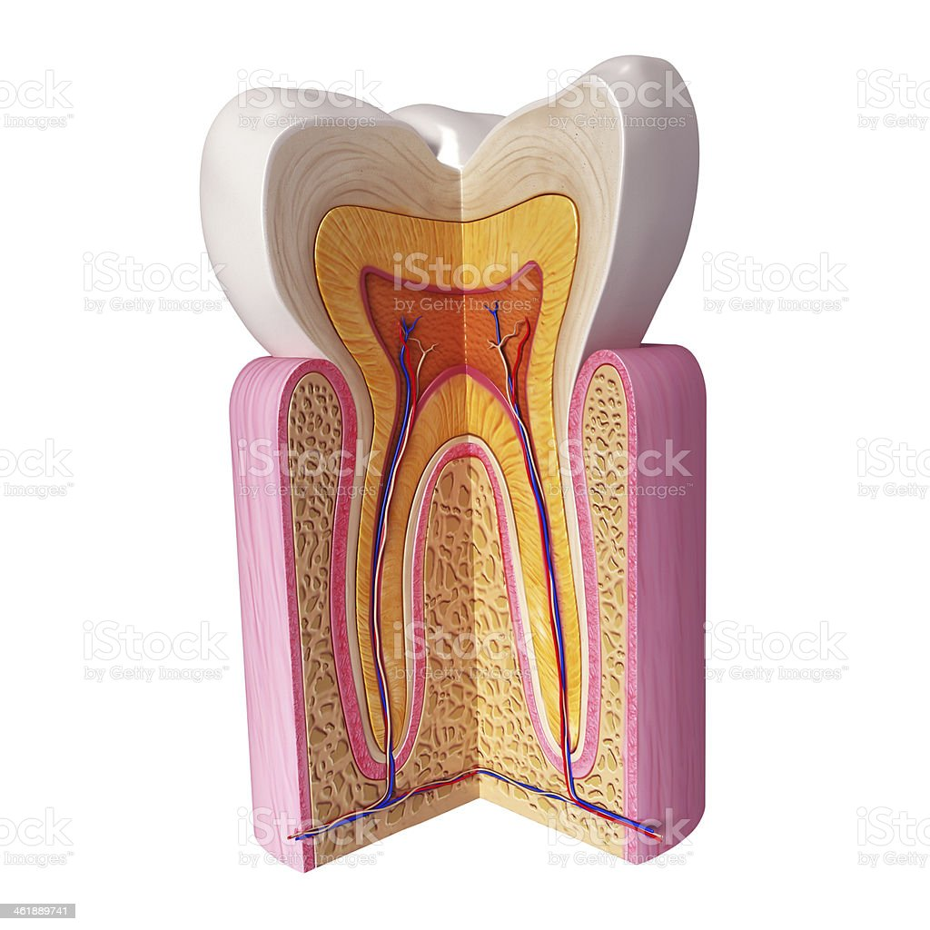 A 3D tooth with a section cut off to show details stock photo