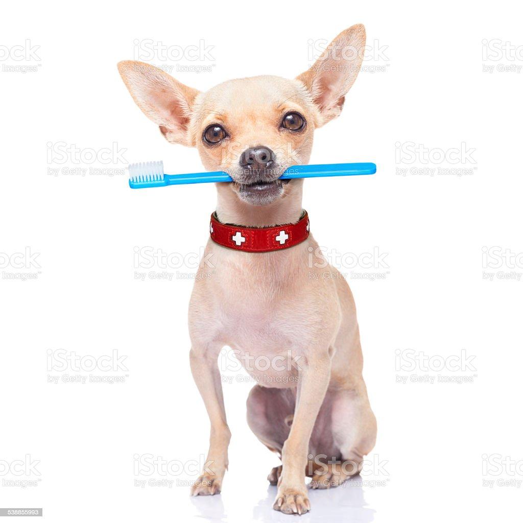 toothbrush dog stock photo