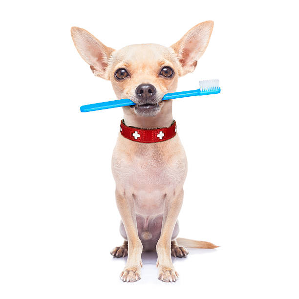 toothbrush dog chihuahua dog holding a toothbrush with mouth , isolated on white background animal teeth stock pictures, royalty-free photos & images
