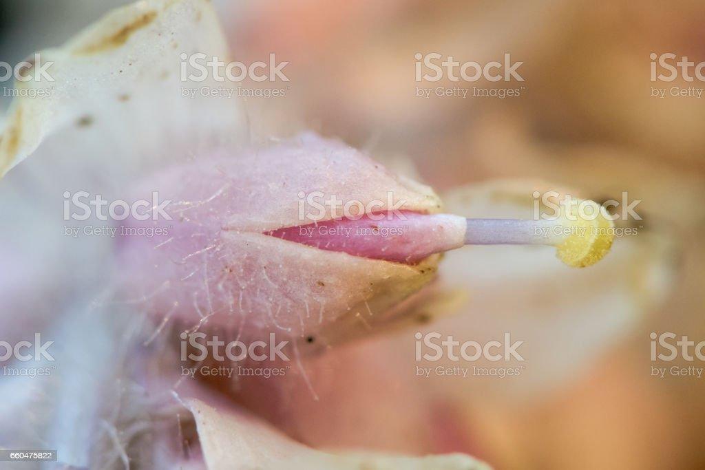Toothwort (Lathraea squamaria) detail of flower stock photo