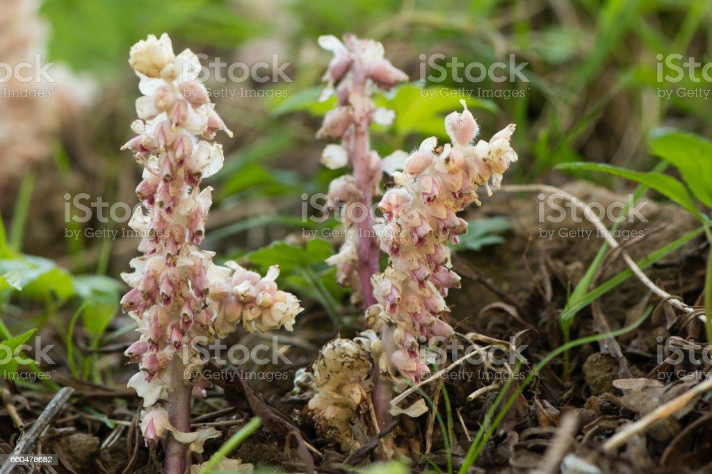 Toothwort (Lathraea squamaria) flower spikes stock photo