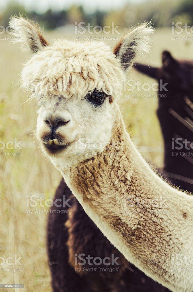 Toothy Alpaca royalty-free stock photo