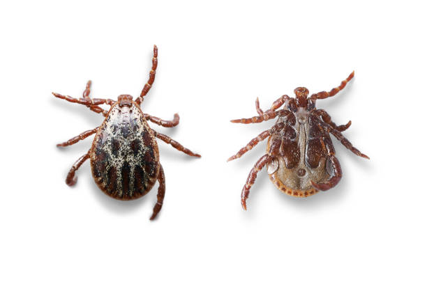 top and bottom views of a male mite isolated on white with shadows. macro photo - epidemiologia foto e immagini stock