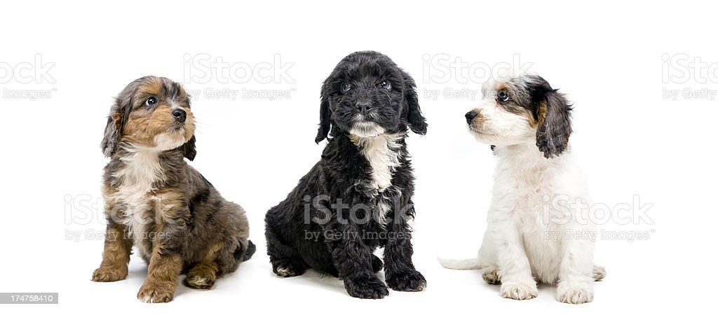 Top dog royalty-free stock photo