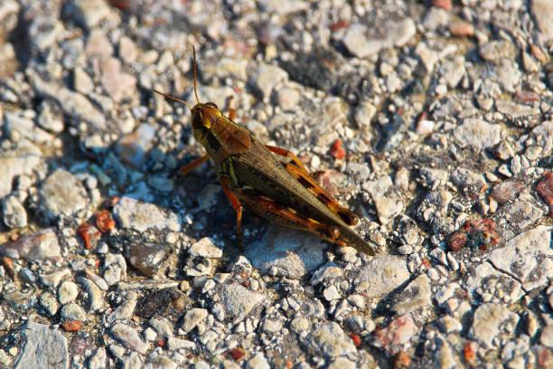 een top down view van een rode legged sprinkhaan op gravel - locust swarm stockfoto's en -beelden