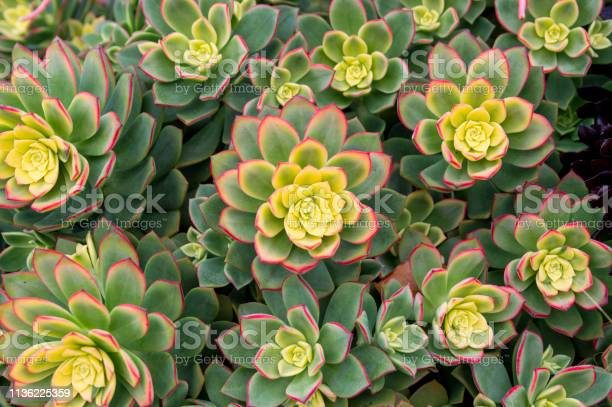 Top down view of succulent plant growing in san diego california picture id1136225359?b=1&k=6&m=1136225359&s=612x612&h=vwwnee9ncvqbtg1z0jnl5m914en4jghyugwf8oi4m3e=