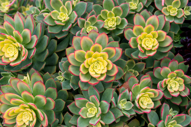 Top down view of succulent plant growing in san diego california picture id1136225359?b=1&k=6&m=1136225359&s=612x612&w=0&h=kimo 4hc7pl9lvmbfx8xdlff c440oyrz52fzjuvgno=
