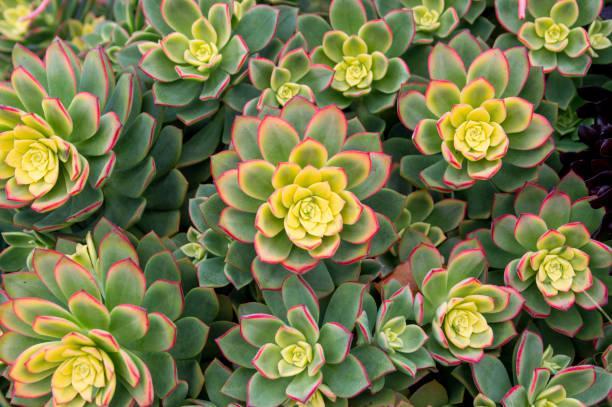 san diego california büyüyen succulent bitki üstten aşağı görünümü - sulu stok fotoğraflar ve resimler