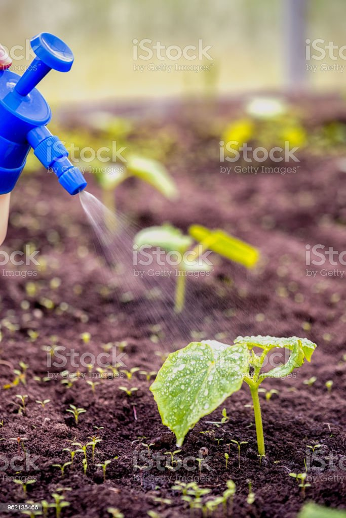 Top Dressing Of New Cucumber Seedlings Plant With Liquid