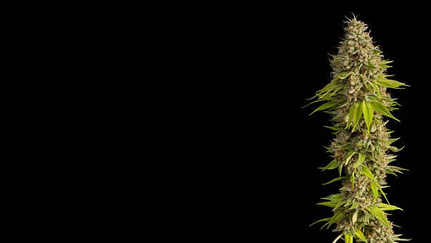 top flowering medical marijuana bud - foderblad bildbanksfoton och bilder