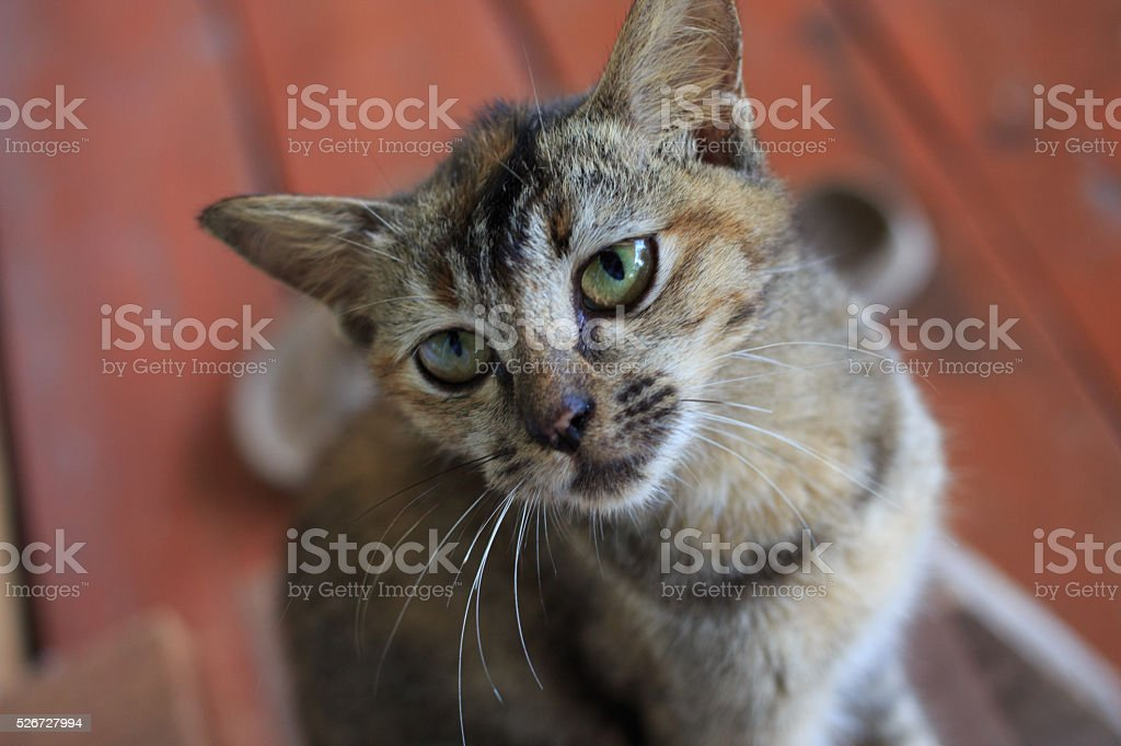 top hungry little gray kitten cat looking up stock photo