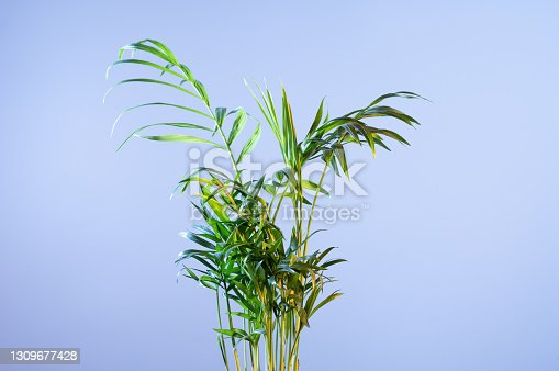 Top of a palm plant on a blue background. Indoor palm tree on a blue background. Front view.