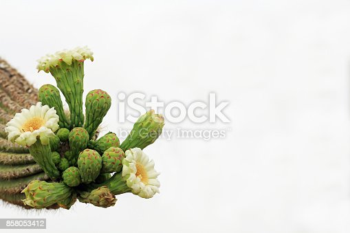 The top of three arms on a saguaro cactus with new blooms of white flowers starting and a background of white sky copy space in Saguaro National Park, Tucson, Arizona, USA.