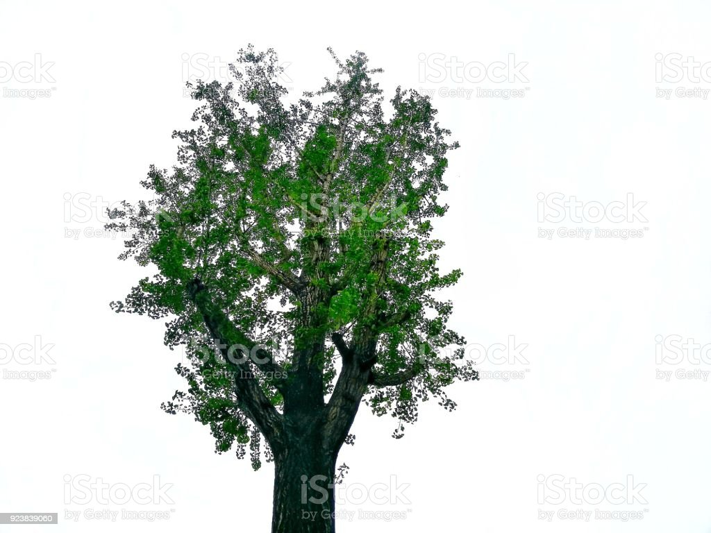Top of a tree on white background. The branches was trimmed in order to put forth fresh leaves. stock photo