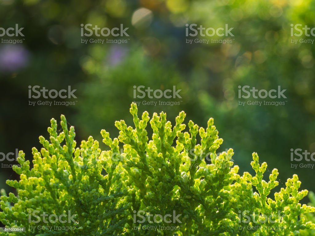 Top of Chinese Arborvitae Plant stock photo