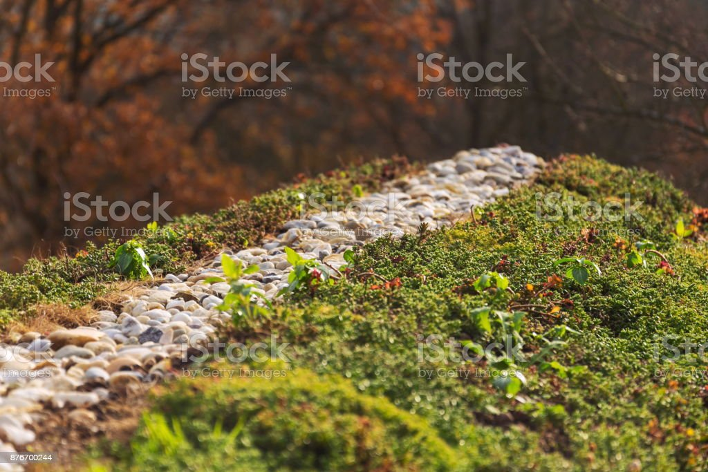 Top of green living roof covered with vegetation mostly sedum sexangulare, also known as tasteless stonecrop stock photo
