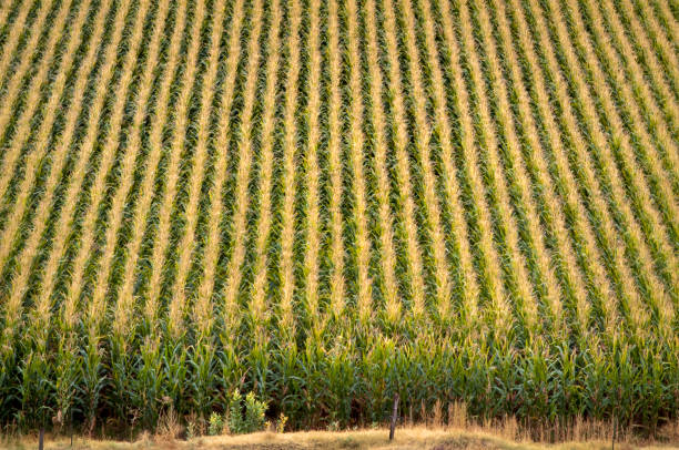 Top van rijen maïsplanten op een boerderij foto