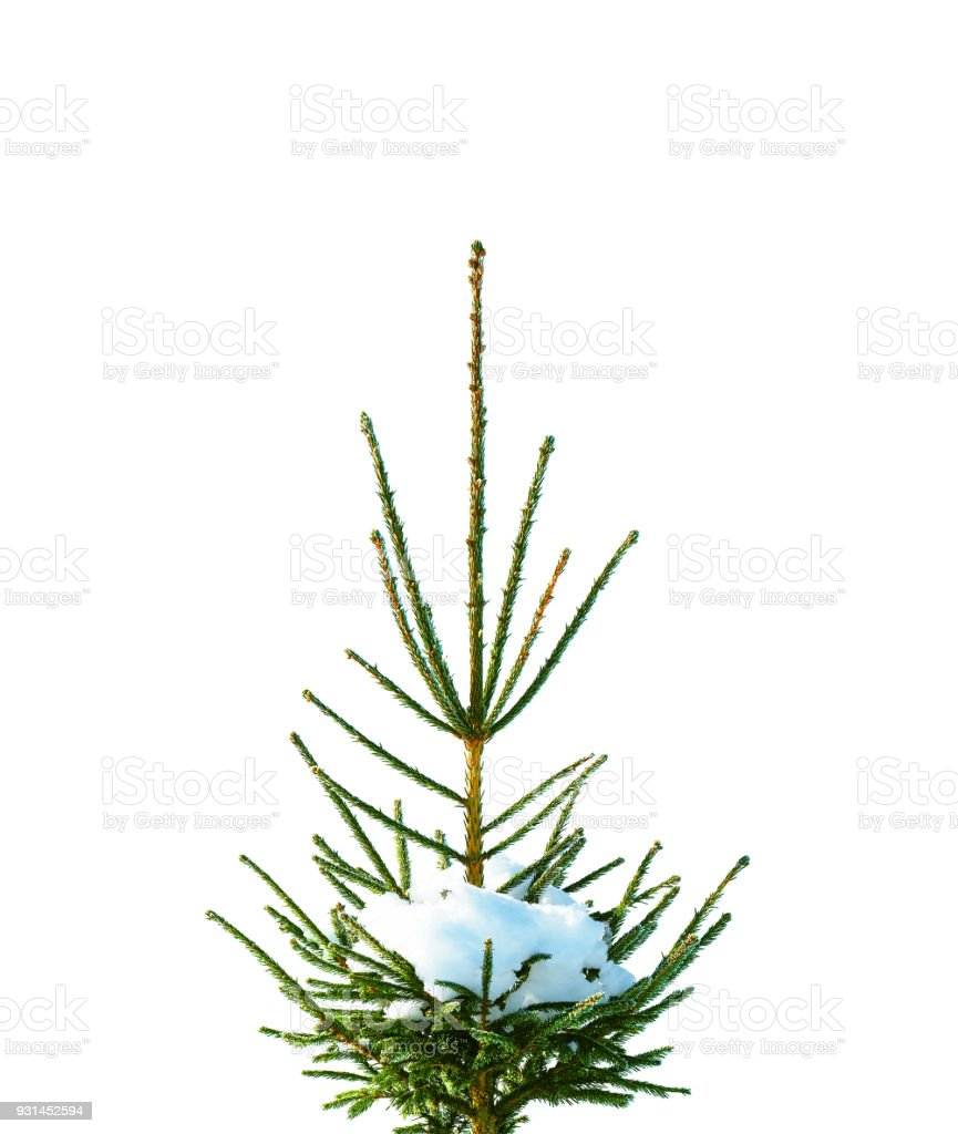 Top of spruce covered with frost and snow isolated on white background. Christmas snow-covered branches. New Year natural decorations, winter, frost. Fir tree stock photo