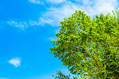 istock Top of the green tree on the blue background of a summer sky 1236159690