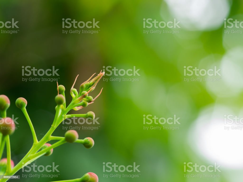 Top of The peacock Flower Buds stock photo