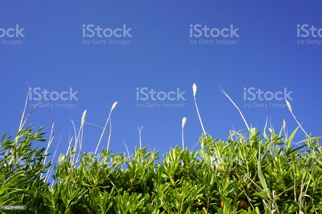 Top of the plant reed grass and green leaves of Mediterranean plant Myrtus communis, myrtle, with sky in turquoise blue color, photographed on the Croatian Island of Pag. Colorful nature background stock photo