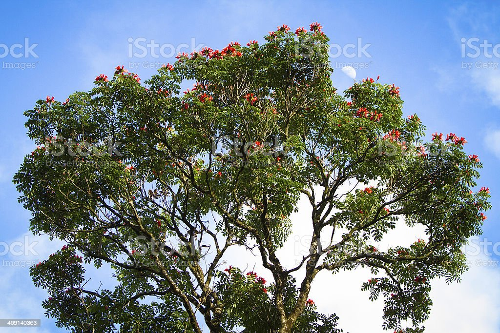Top of tree with orange flowers and moon in sky. stock photo