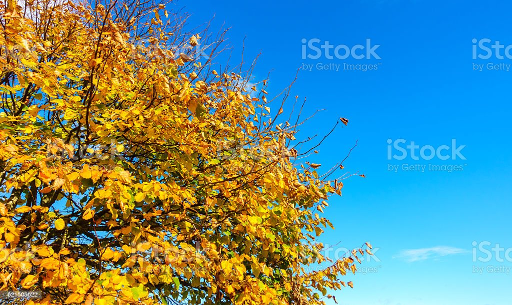 Top Part of an Autumn Tree with Blue Sky foto stock royalty-free