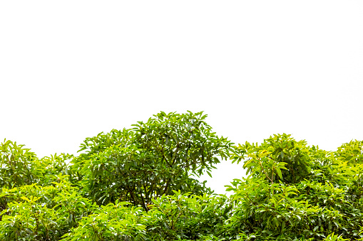 Top part of green tree against white background with copy space, full frame horizontal composition